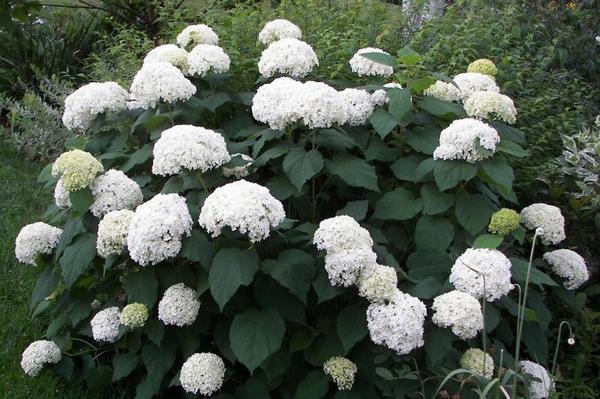 Садовые гортензии: как 52