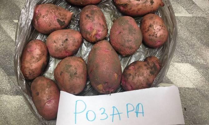 розара сорта картофеля фото и описание