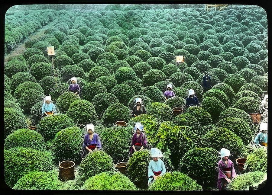 Выращивание зелёный чай 95