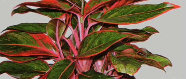 виды и фото аглаонема