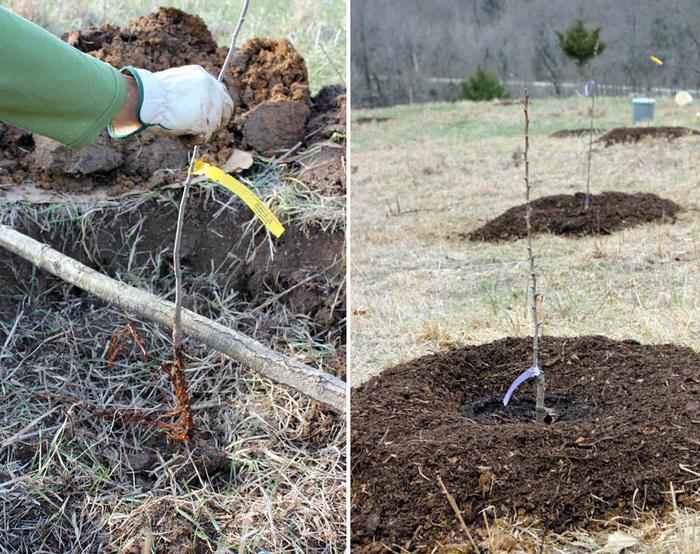 Как сажать привитое дерево 98
