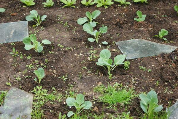 Когда и как сажать позднюю капусту 291