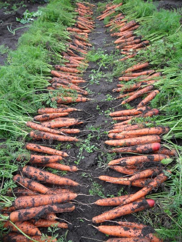 Если среди корнеплодов попались некачественные, их можно переработать и сделать корейскую морковку или сок.