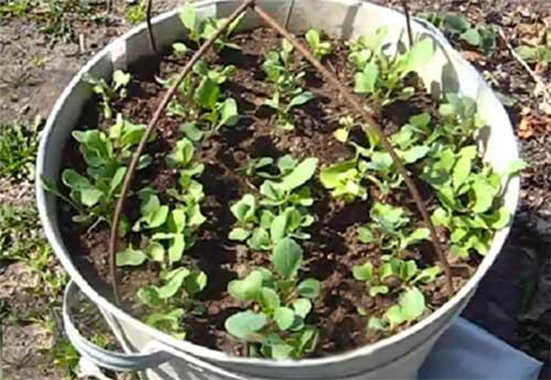 Как вырастать рассаду капусты