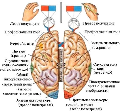 ЗДРАВОТДЕЛ. Как развивать оба полушария мозга 89ce8f07f4c