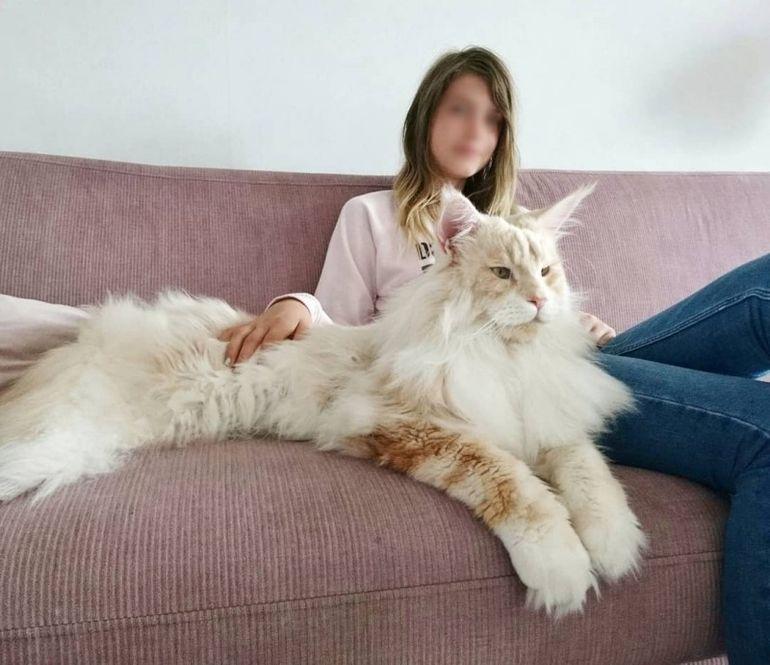 кошка мейн кун размеры