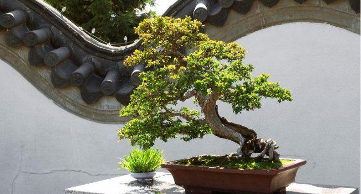 выращивание карликовых деревьев в японии