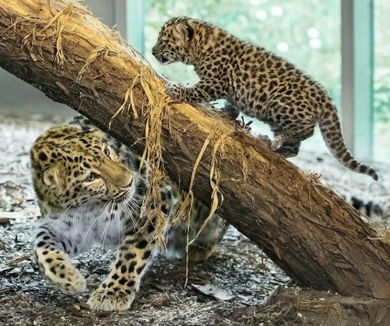 участок смешные фото амурского леопарда стала