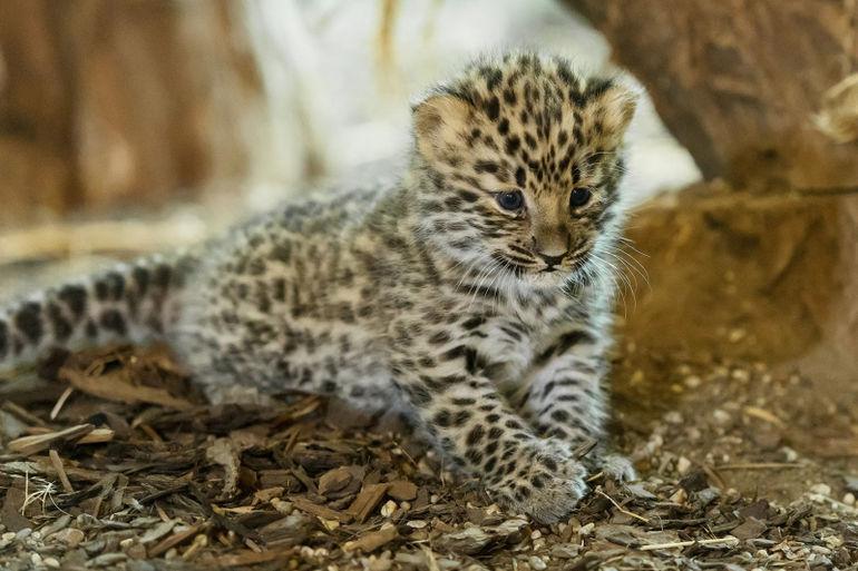 Маленький леопардик картинка