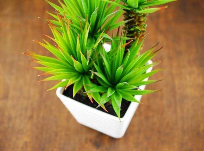 Как выращивать юкку в домашних условиях?