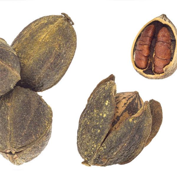Какие орехи можно выращивать в средней полосе россии?