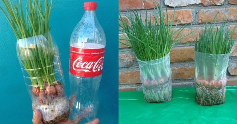 Как выращивать лук на перо в домашних условиях?