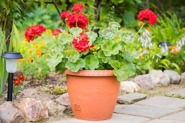 Пеларгония зональная: от семени – к цветку