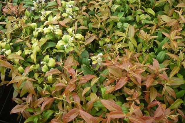 Леукотоэ – вечнозеленый заокеанский красавец