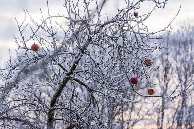 Надежные сорта плодовых деревьев