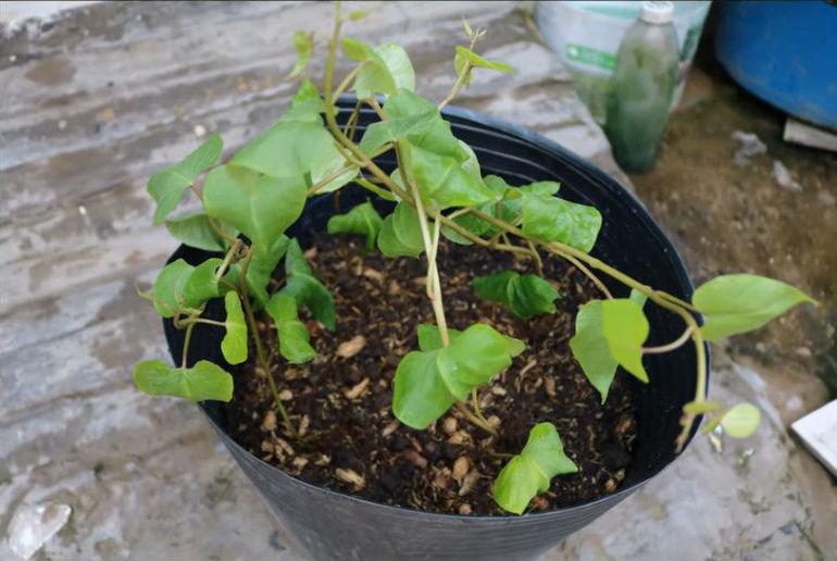 Как просто вырастить батат