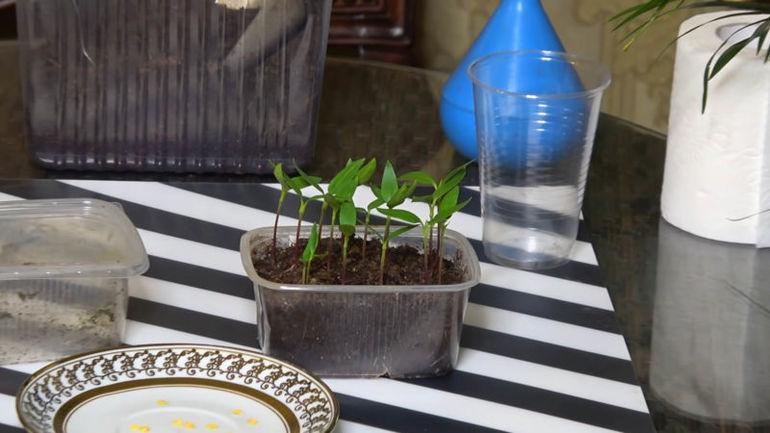 Взойдут даже старые семена. Поможет обычное аптечное средство