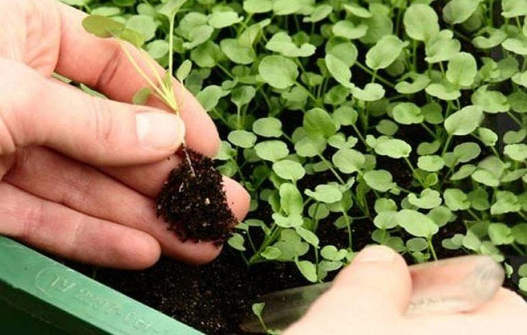 Простой и действенный способ посева петунии в феврале