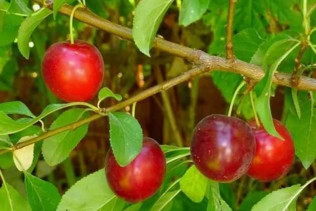 Вишнеслива (вишнесливовые гибриды): что надо знать