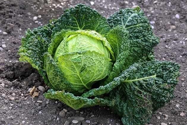Cавойская капуста – ценная овощная культура