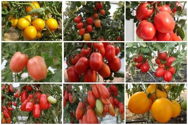 Сибирские сорта томатов для теплицы