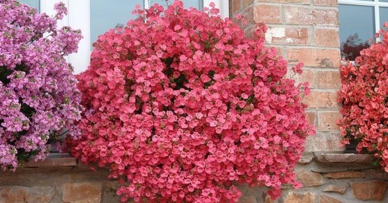5 «неизбитых» чарующих цветов для кашпо и балконов