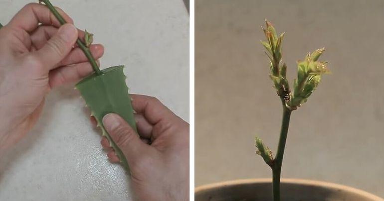 Соедините лист алоэ +черенок розы и поразитесь результату