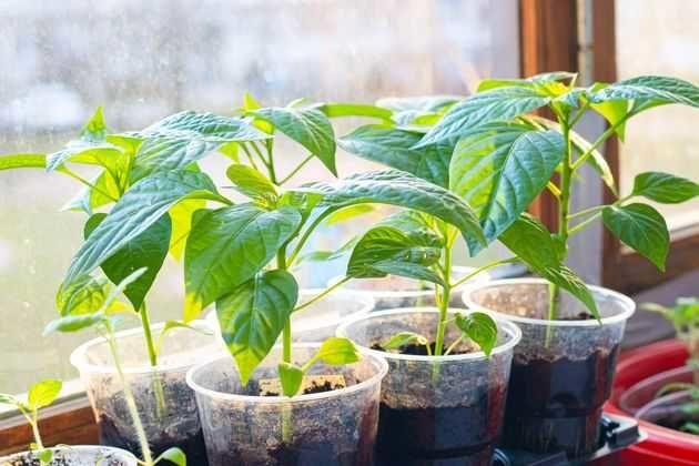 Рассада: частые ошибки при выращивании
