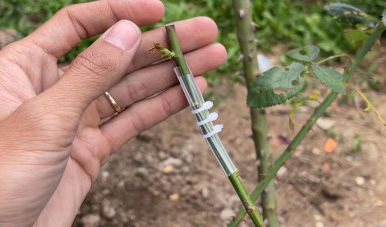 Очень простой способ прививки роз