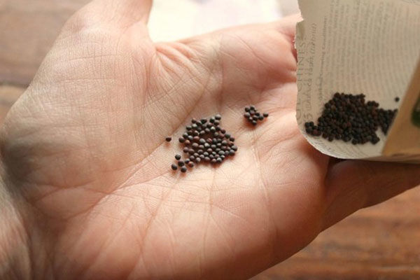 Как получить семена белокочанной капусты