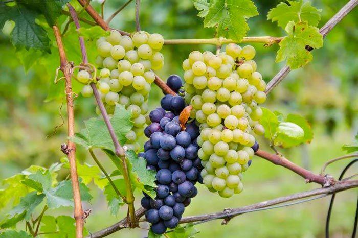 Виноград в средней полосе: выращивание и уход, сорта, особенности посадки для начинающих