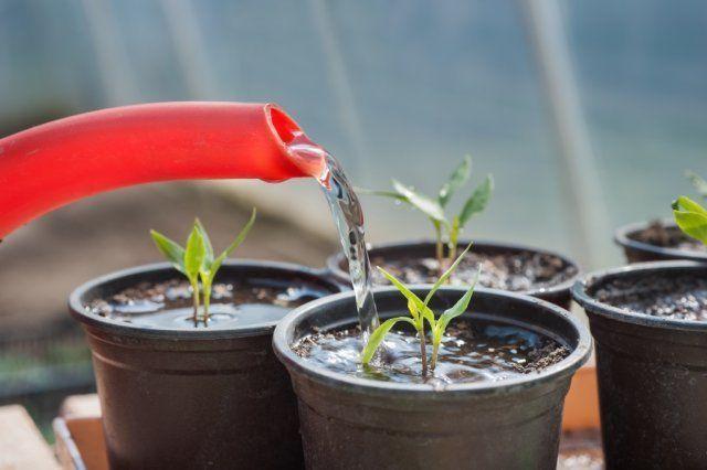 рассада томатов падает под корень