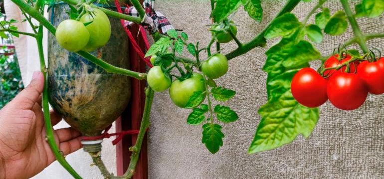 Эксперимент с томатом: выращиваем «вверх ногами»