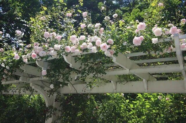 19 прекрасных вьющихся растений для беседок