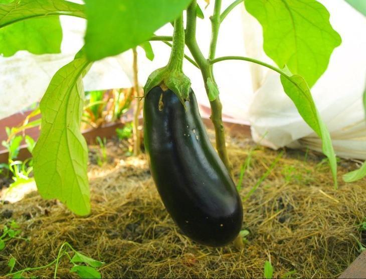 Чем подкормить баклажаны для роста народными средствами?