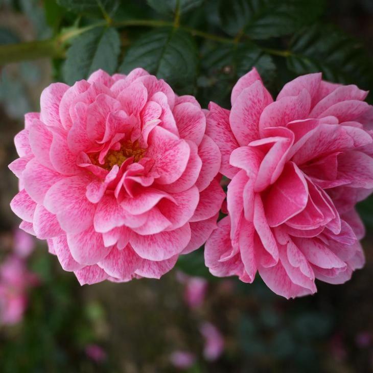Роза Камелот: описание с фото, внешний вид, период цветения