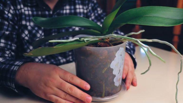 Лучшая подкормка для орхидей есть у каждой хозяйки на кухне