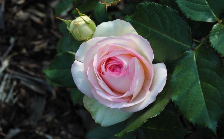 4 полезных совета по уходу за розой в апреле