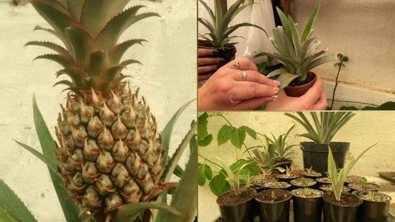 Вырастить и получить плоды ананаса в домашних условиях