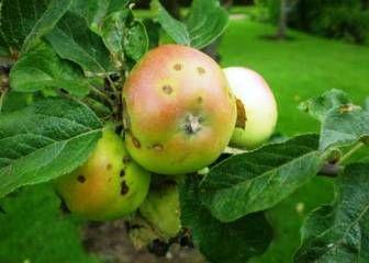 Парша на яблоне: лечение