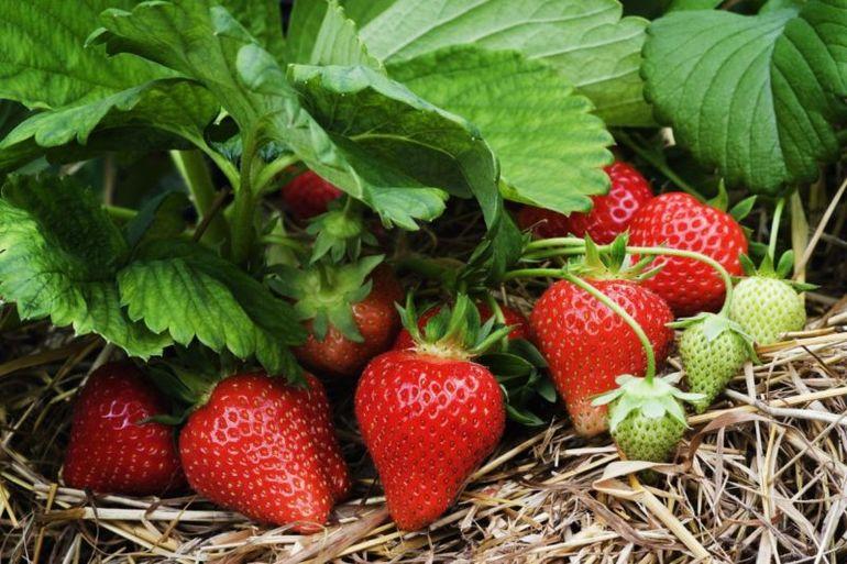 5 советов по уходу за клубникой весной для лучшего урожая