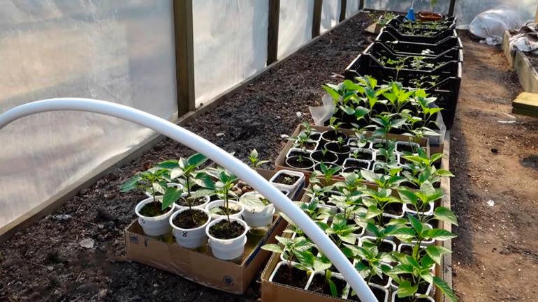Полезная шпаргалка когда же высаживать рассаду в открытый грунт и теплицу