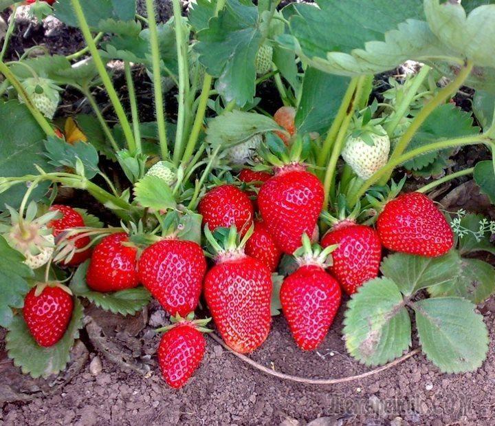 Как получить урожай клубники в год посадки