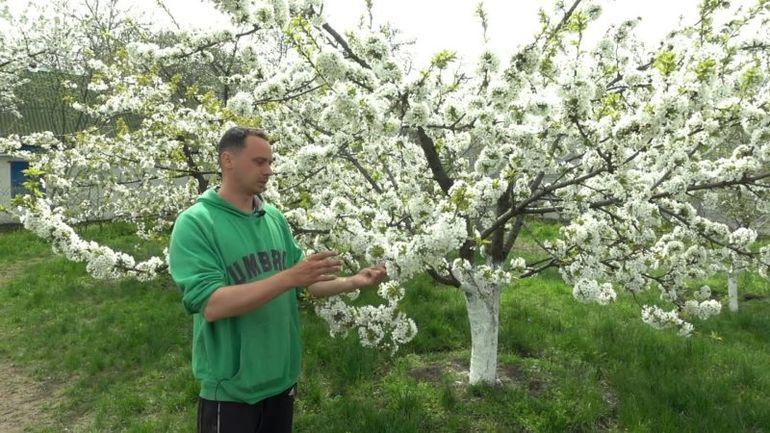 Чем подкормить черешню в момент цветения