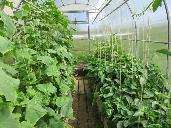 Баклажаны с огурцами и помидорами в одной теплице: плюсы и минусы