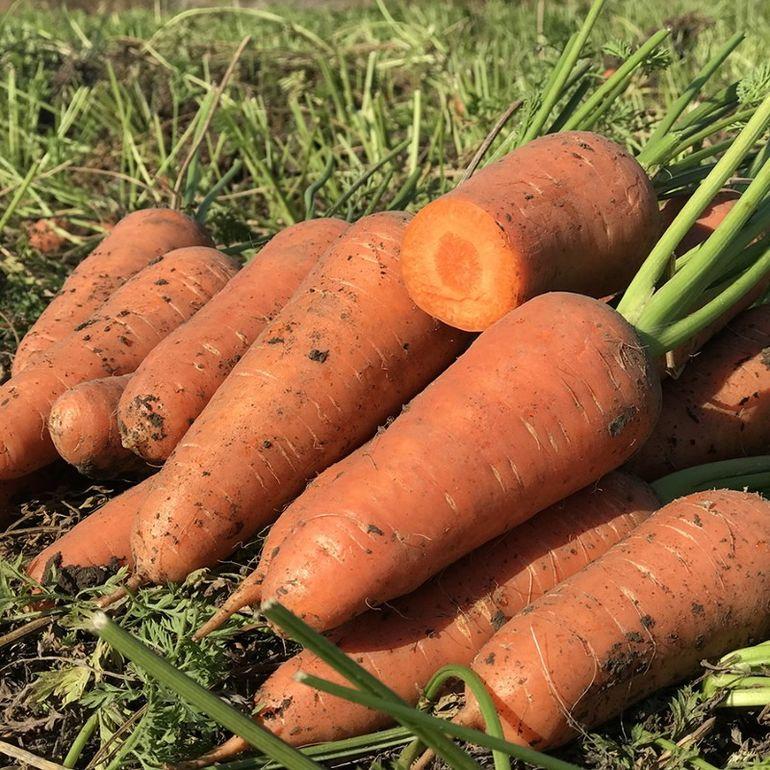 Урожайные, неприхотливые, лучшие — какие сорта моркови для Урала советуют огородники