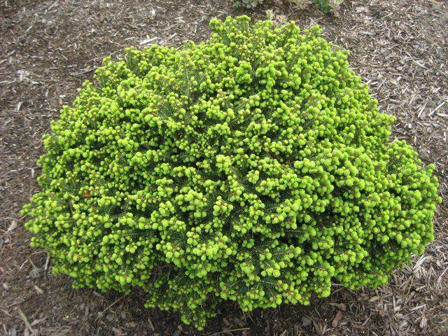 Не зеленые вечнозеленые – какие разноцветные хвойные можно посадить на участке