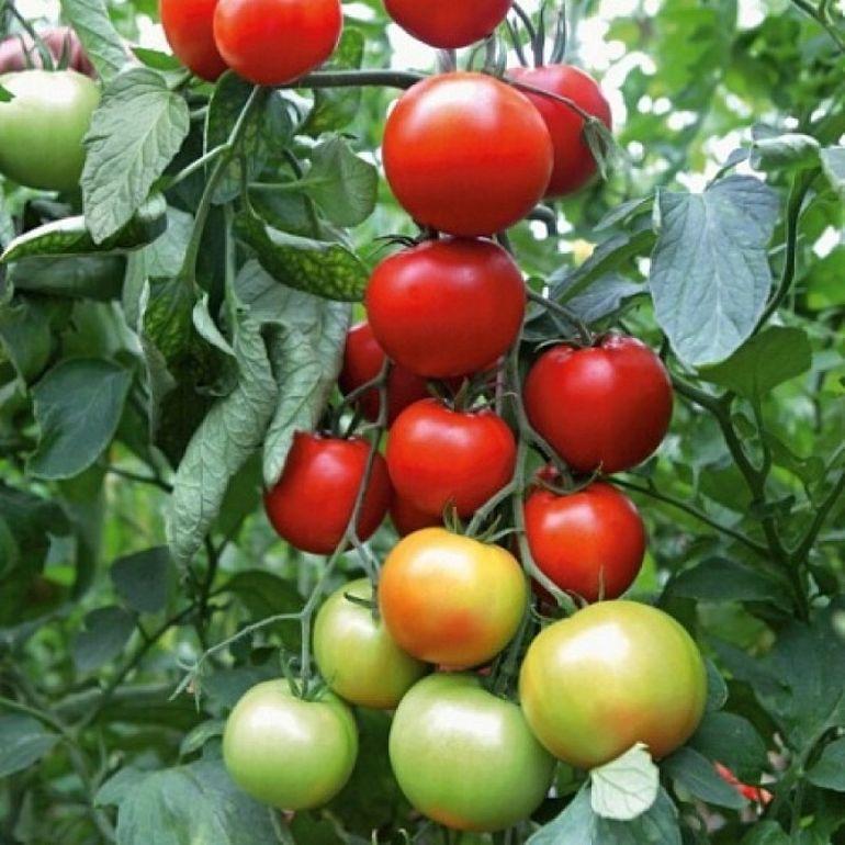 Где используется томат Афродита — ультраранний урожайный гибрид