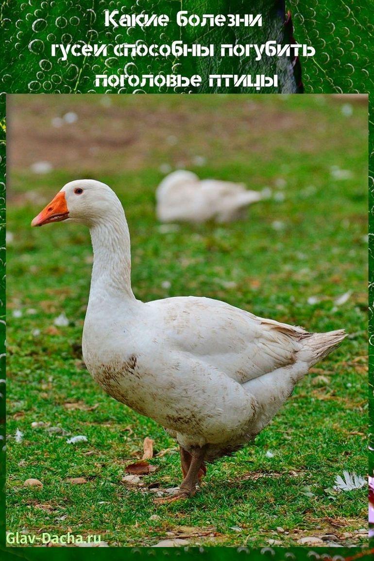 Какие болезни гусей способны погубить поголовье птицы
