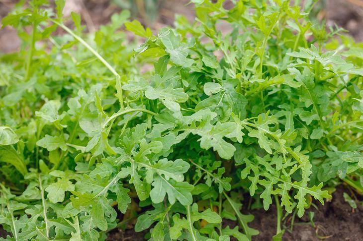 Руккола: выращиваем витамины круглый год на подоконнике вашего дома